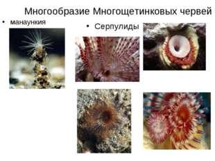 Многообразие Многощетинковых червей манаункия Серпулиды