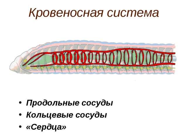 Кровеносная система Продольные сосуды Кольцевые сосуды «Сердца»