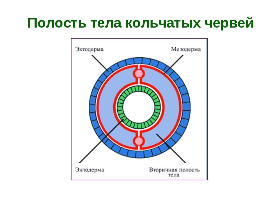 Полость тела кольчатых червей