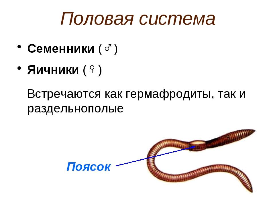 Половая система Семенники (♂) Яичники (♀) Встречаются как гермафродиты, так и...