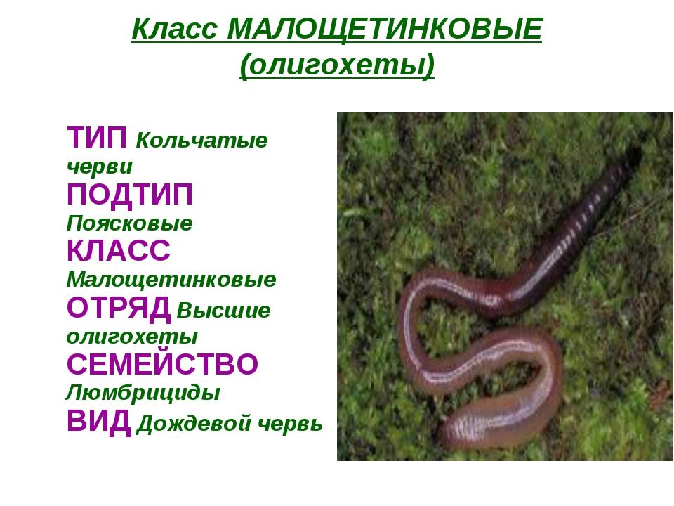 Класс МАЛОЩЕТИНКОВЫЕ (олигохеты) ТИП Кольчатые черви ПОДТИП Поясковые КЛАСС...