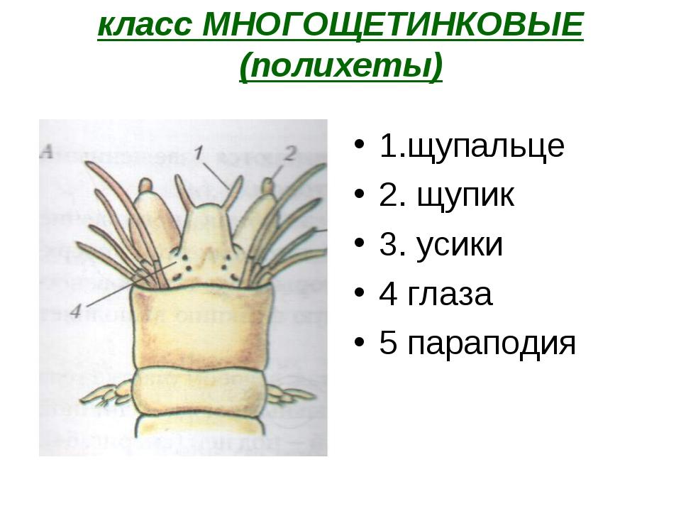 класс МНОГОЩЕТИНКОВЫЕ (полихеты) 1.щупальце 2. щупик 3. усики 4 глаза 5 парап...