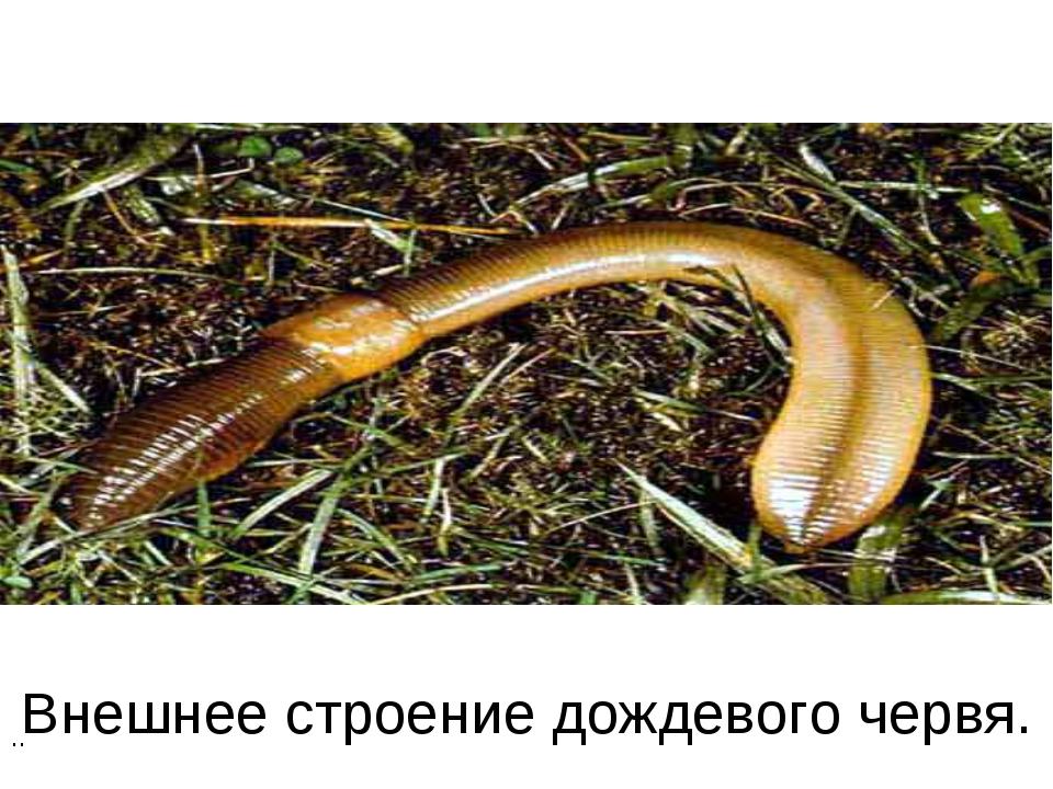 Внешнее строение дождевого червя. ..