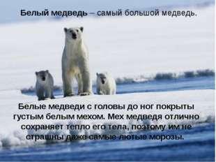 Белый медведь – самый большой медведь. Белые медведи с головы до ног покрыты
