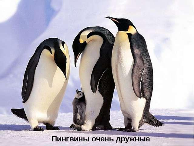 Пингвины очень дружные птицы.