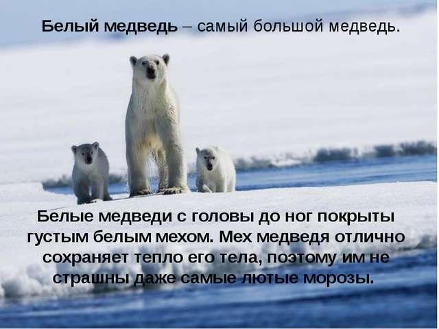 Белый медведь – самый большой медведь. Белые медведи с головы до ног покрыты...