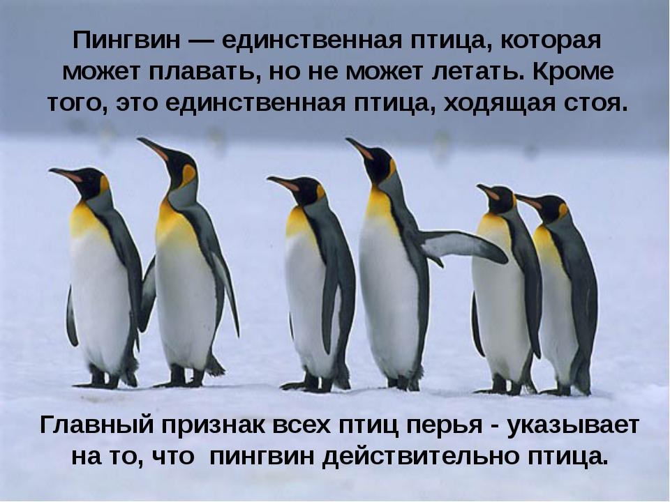 Пингвин — единственная птица, которая может плавать, но не может летать. Кром...
