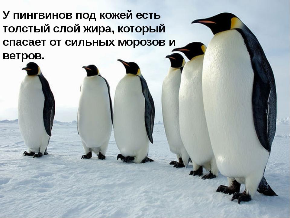 У пингвинов под кожей есть толстый слой жира, который спасает от сильных моро...