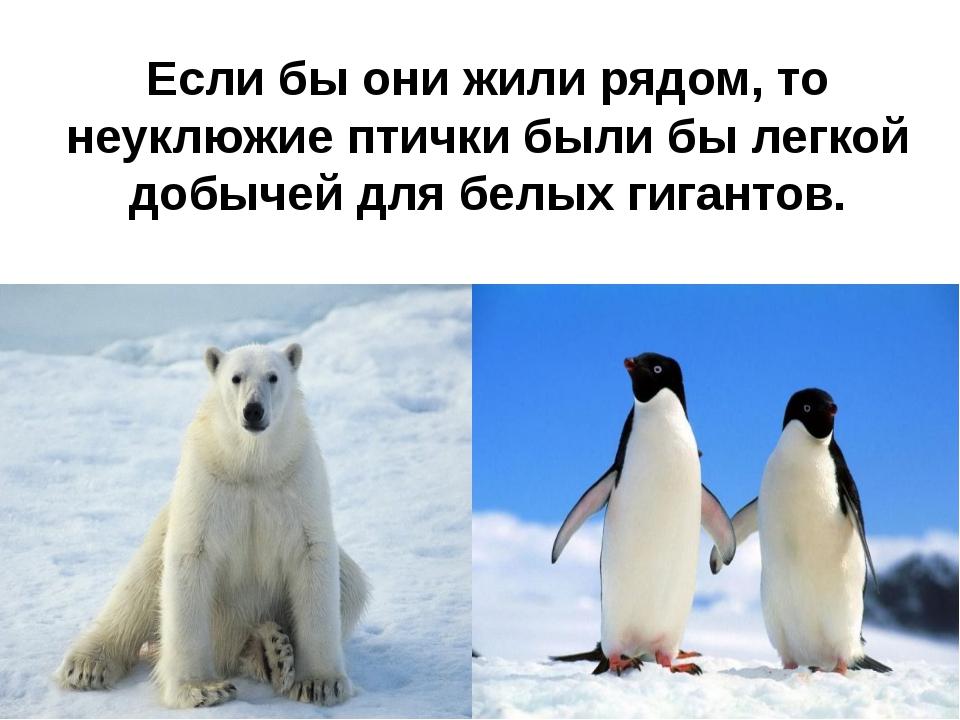 Если бы они жили рядом, то неуклюжие птички были бы легкой добычей для белых...