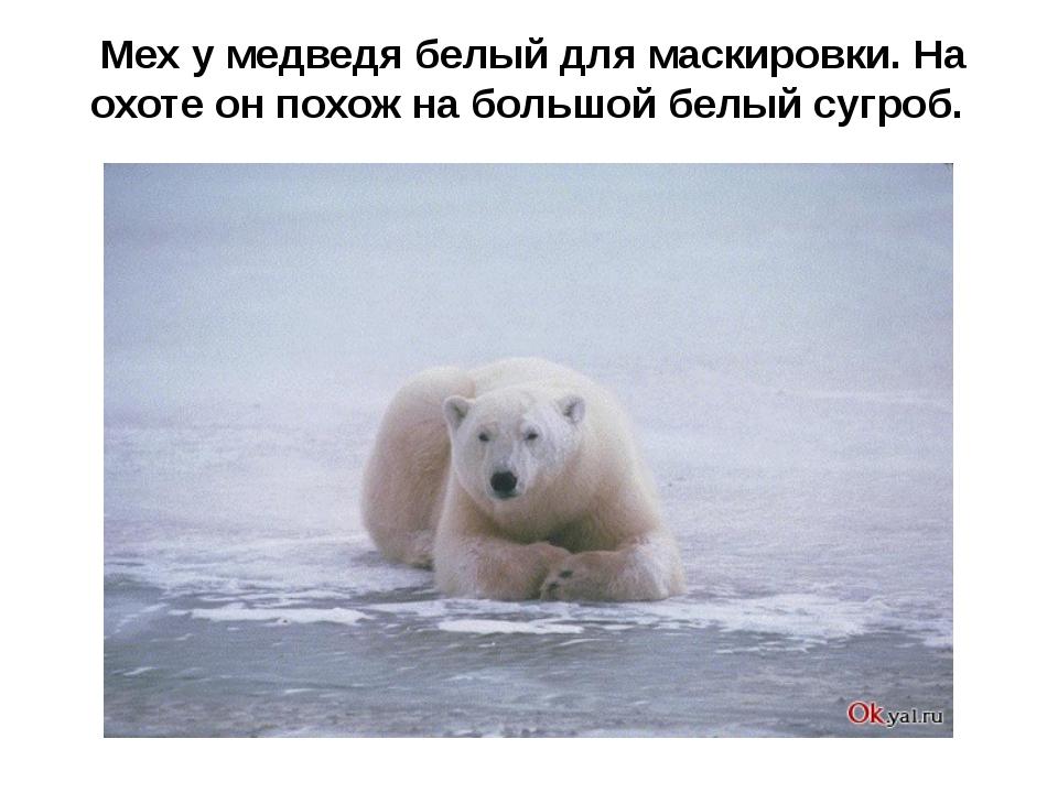 Мех у медведя белый для маскировки. На охоте он похож на большой белый сугроб.