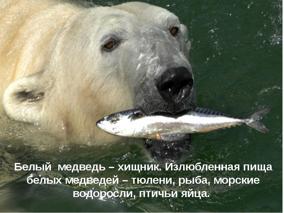 Белый медведь – хищник. Излюбленная пища белых медведей – тюлени, рыба, морс...