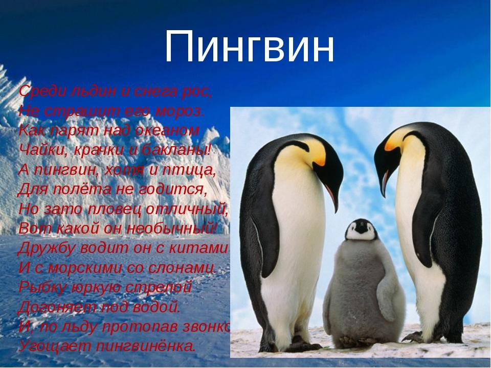 Пингвин Среди льдин и снега рос, Не страшит его мороз. Как парят над океаном...