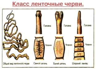 Класс ленточные черви.