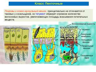 Покровы и кожно-мускульный мешок. принципиально не отличаются от таковых у со