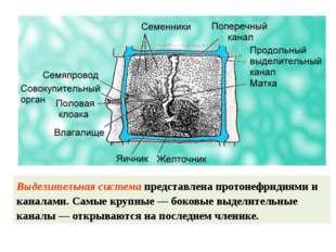 Выделительная система представлена протонефридиями и каналами. Самые крупные