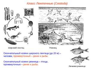 Окончательный хозяин широкого лентеца (до 20 м) – человек, промежуточный – ра