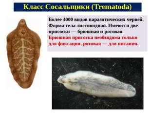 Более 4000 видов паразитических червей. Форма тела листовидная. Имеются две п