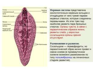 Нервная система представлена окологлоточным нервным кольцом и отходящими от н