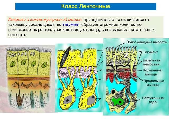 Покровы и кожно-мускульный мешок. принципиально не отличаются от таковых у со...