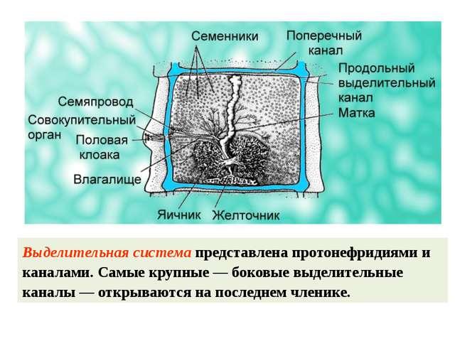 Выделительная система представлена протонефридиями и каналами. Самые крупные...