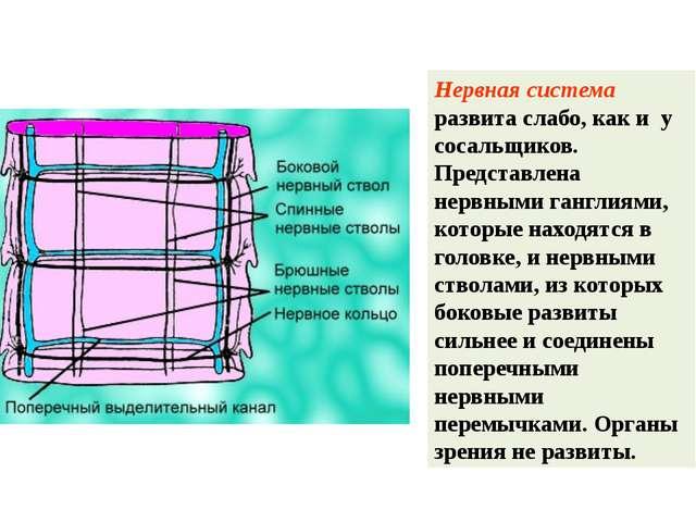 Нервная система развита слабо, как и у сосальщиков. Представлена нервными ган...