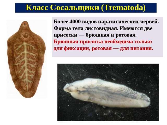 Более 4000 видов паразитических червей. Форма тела листовидная. Имеются две п...