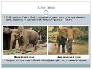 Хоботные Хо́ботные(лат.Proboscidea)— отряд плацентарныхмлекопитающих, обя