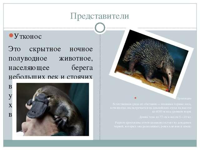Представители Утконос Это скрытное ночное полуводное животное, населяющее бер...