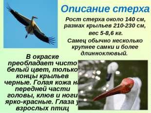 Описание стерха Рост стерха около 140 см, размах крыльев 210-230 см, вес 5-8,