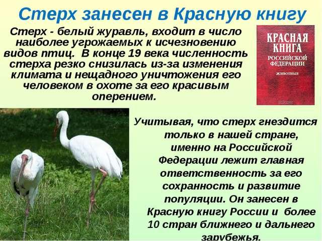 Стерх занесен в Красную книгу Стерх - белый журавль, входит в число наиболее...