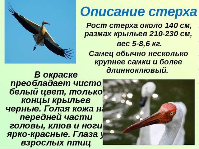 Описание стерха Рост стерха около 140 см, размах крыльев 210-230 см, вес 5-8,...