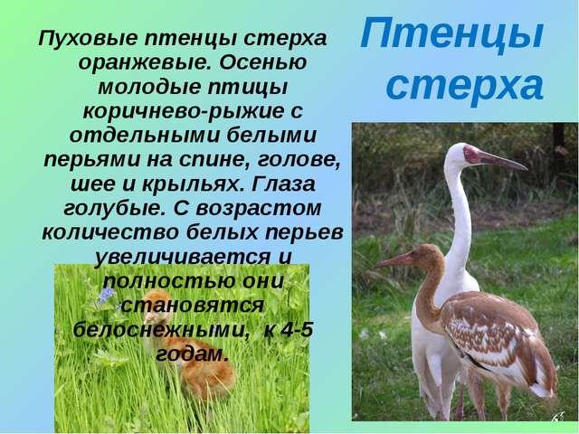 Птенцы стерха Пуховые птенцы стерха оранжевые. Осенью молодые птицы коричнево...