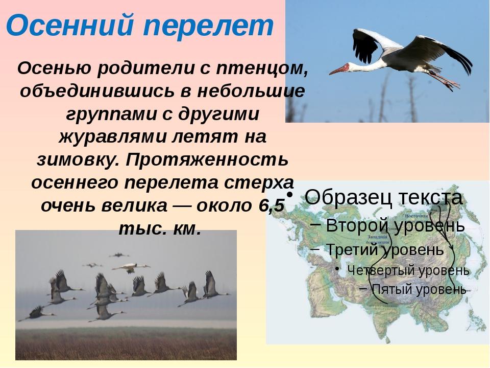 Осенний перелет Осенью родители с птенцом, объединившись в небольшие группами...