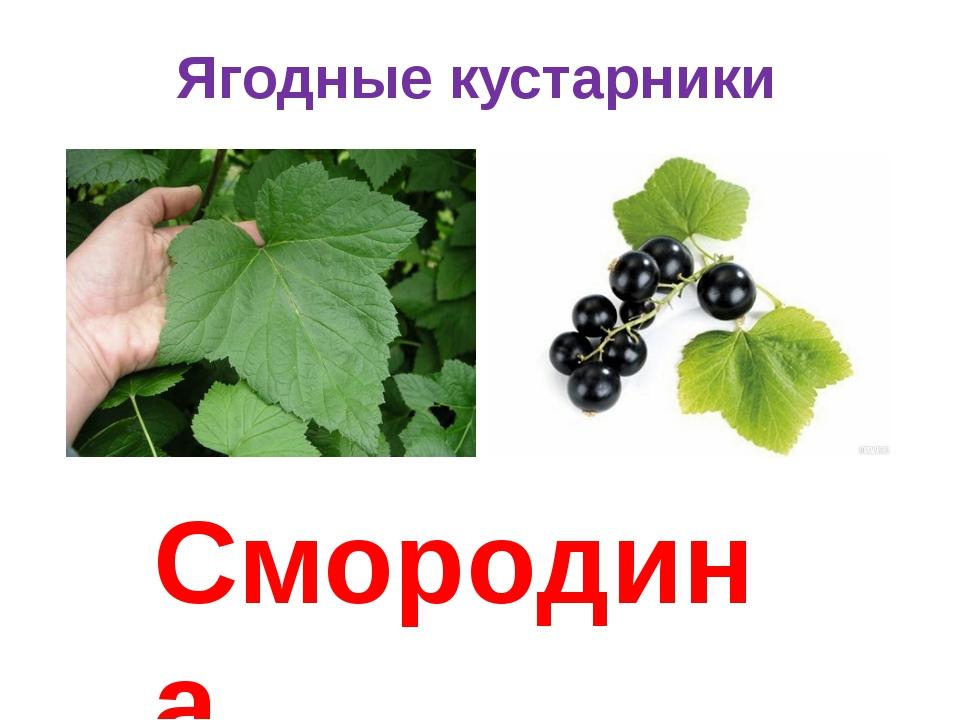 Ягодные кустарники Смородина