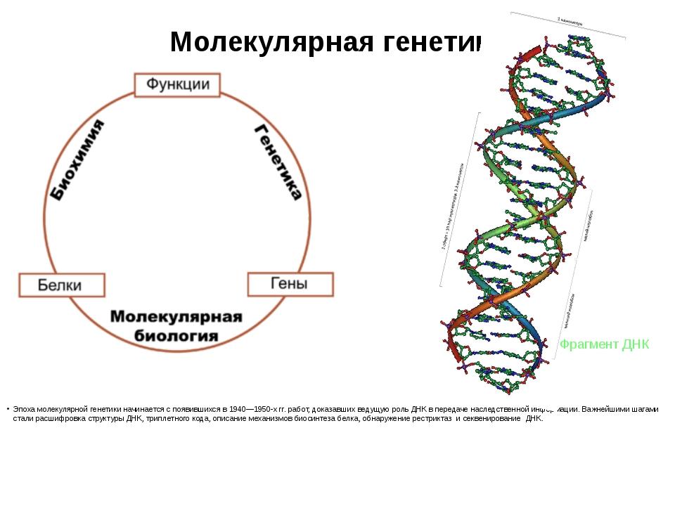 Молекулярная генетика Эпоха молекулярной генетики начинается с появившихся в...