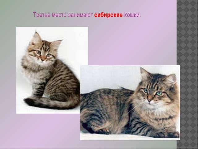Третье место занимают сибирские кошки.