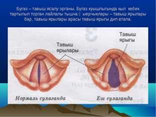 Бугаз – тавыш ясалу органы. Бугаз куышлыгында кыл кебек тартылып торган лайла