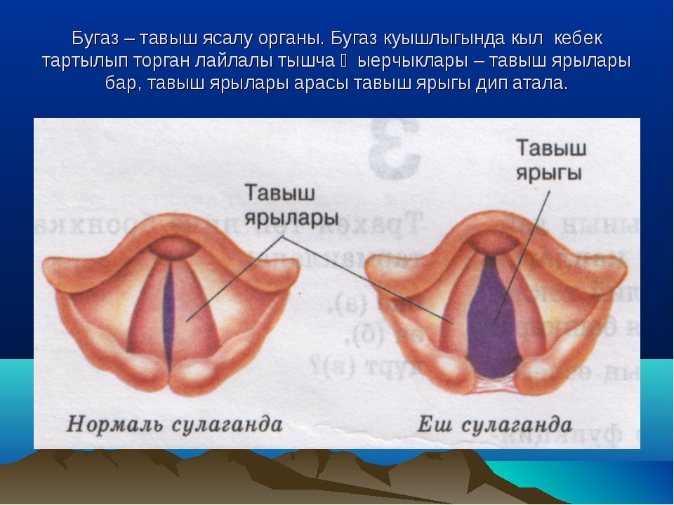 Бугаз – тавыш ясалу органы. Бугаз куышлыгында кыл кебек тартылып торган лайла...
