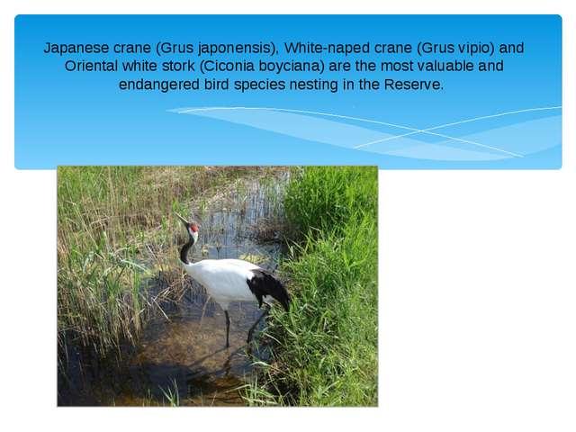 Japanese crane (Grus japonensis), White-naped crane (Grus vipio) and Oriental...