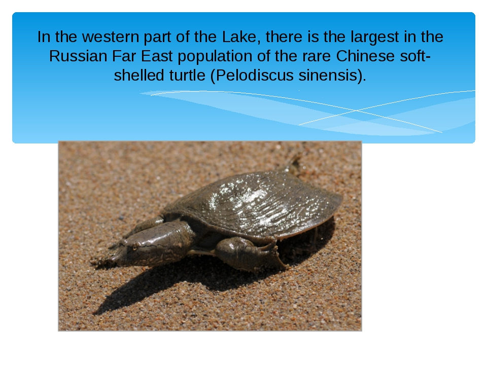 In the western part of the Lake, there is the largest in the Russian Far East...