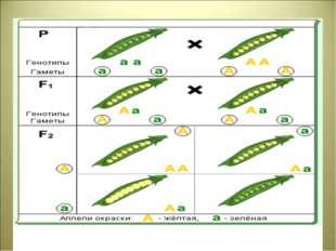 Цитологические основы моногибридного скрещивания
