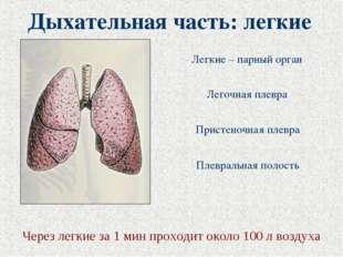 Дыхательная часть: легкие Легочная плевра Легкие – парный орган Пристеночная