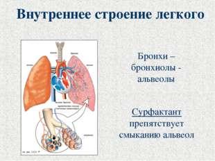 Внутреннее строение легкого Бронхи – бронхиолы - альвеолы Сурфактант препятст