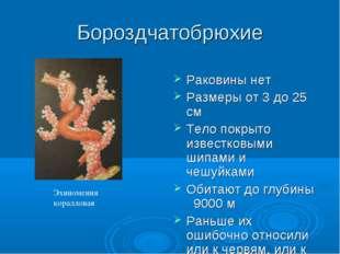 Бороздчатобрюхие Раковины нет Размеры от 3 до 25 см Тело покрыто известковыми