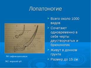 Лопатоногие Всего около 1000 видов Сочетают одновременно в себе черты двуство
