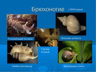 Брюхоногие Голожаберный моллюск Виноградная улитка Нептуния деспекта Лямбис и