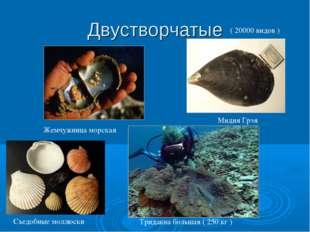 Двустворчатые Жемчужница морская Тридакна большая ( 250 кг ) Мидия Грэя Съедо