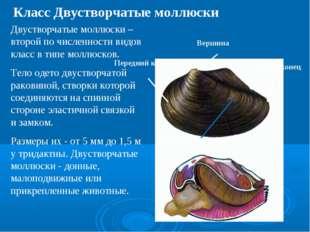 Вершина Задний конец Передний конец Годичные приросты Двустворчатые моллюски