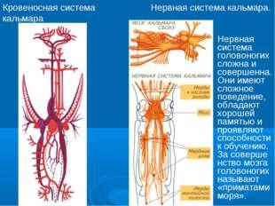 Кровеносная система кальмара Нервная система кальмара. Нервная система голово