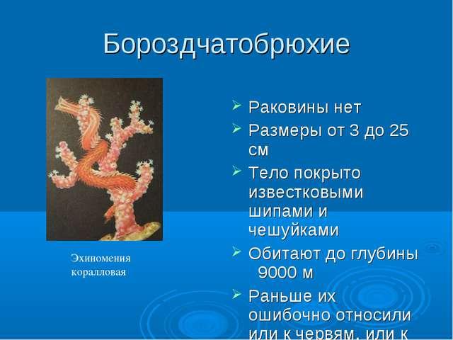 Бороздчатобрюхие Раковины нет Размеры от 3 до 25 см Тело покрыто известковыми...
